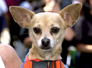Gidget the Taco Bell mascot